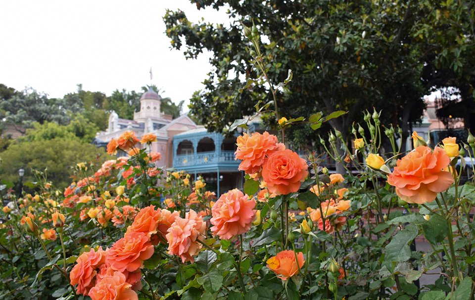 When to visit Disneyland: roses in Disneyland